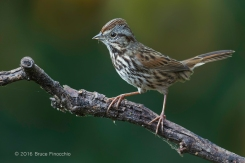 An Alert Song Sparrow On Perch