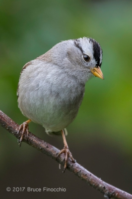 An Inquistive White-crowned Sparrow