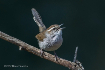 Bewick's Wren Sings From A Diagonal Branch