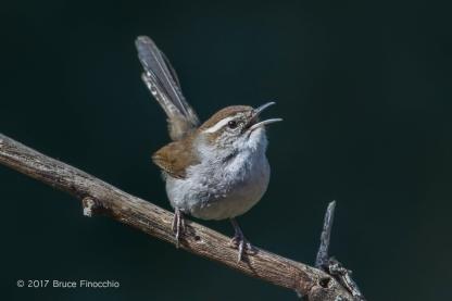 Bewick's Wren Sings From A Diagonal Branch