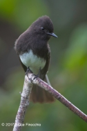 Black Phoebe Peers Down