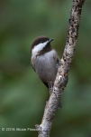 Chestnut-backed Chickadee Peeks From Behind A Branch