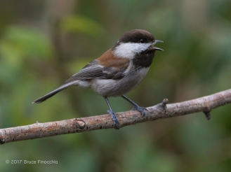Chestnut-backed Chickadee Singing From A Branch