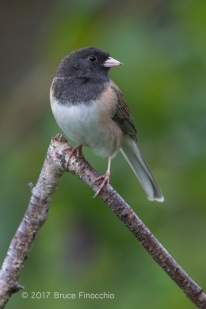 Dark-eyed Junco Looks Over Its Shoulder While Perched On A Branch