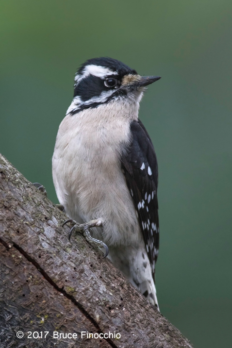 Female Downy Woodpecker Alert Yet Relaxed