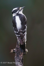Female Downy Woodpecker Perched On The End Of A Stick