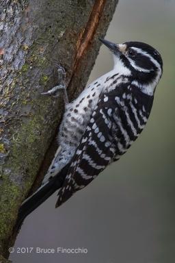 Female Nuttall's Woodpecker Clings To A Tree Trunk