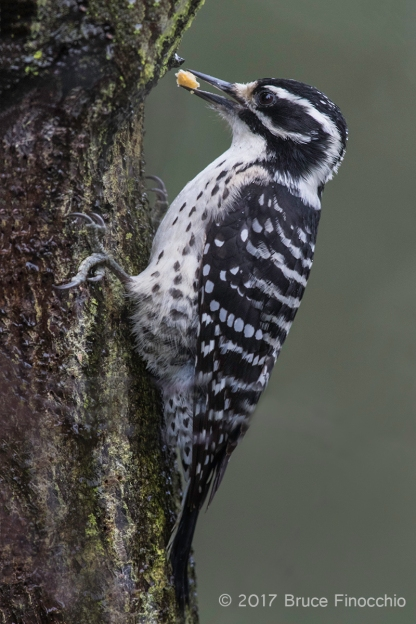 Female Nuttall's Woodpecker Stashing Food In Tree Bark
