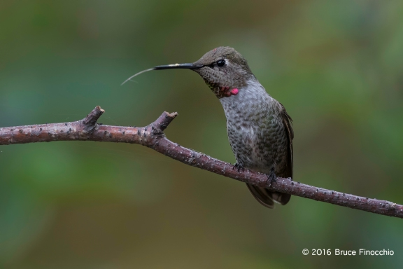 First Year Male Anna's Hummingbird Flicks Out Tongue