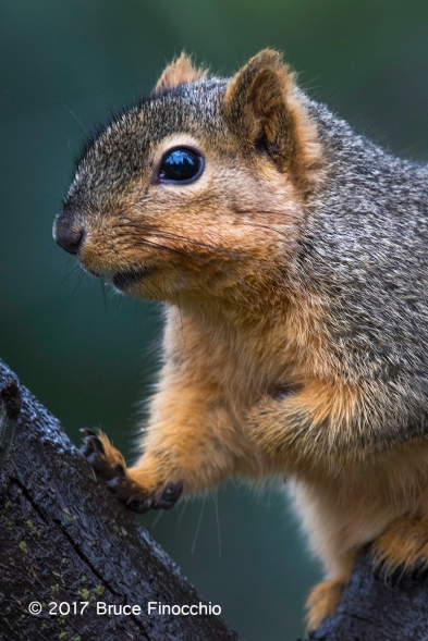 Fox Squirrel In The Middle Of Two Branches