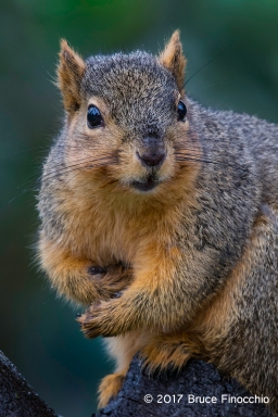 Fox Squirrel Stare Down Expression