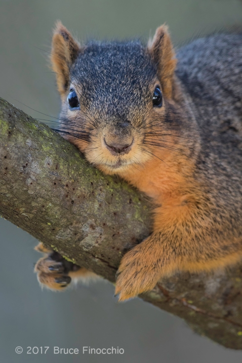Fox Squirrel Stares Back