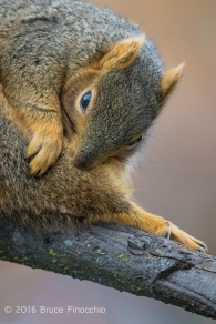 Fox Squirrel Twist To Groom Its Tail While Perch In A Tree Branch