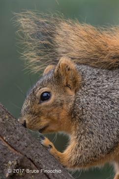 Fox Squirrel Uses Tail As An Umbrella