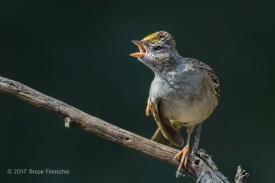Golden-crowned Sparrow Calls Out As It Contorts Body