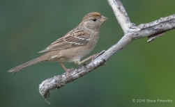 Golden-crowned Sparrow On The Lower Perch