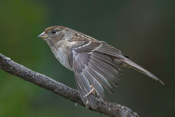 Golden-crowned Sparrow Stretches Wing Feathers