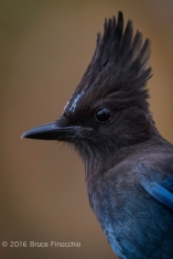 Head and Crest Portrait of A Stellar's Jay