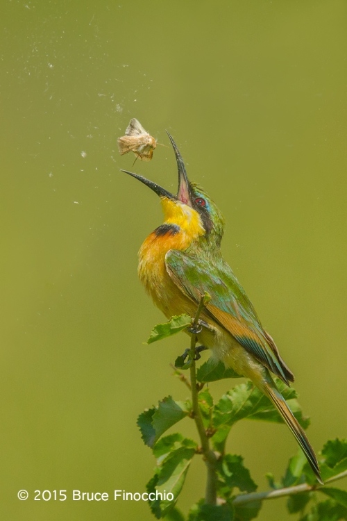 Little Bee Eater Tosses Moth In Air Before Swallowing