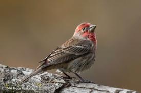 Male House Finch Looks Skyward After Feeding