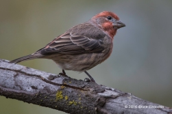 Male House Finch Watching