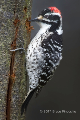 Male Nuttall's Woodpecker Chipping Bark From A Split Tree Trunk