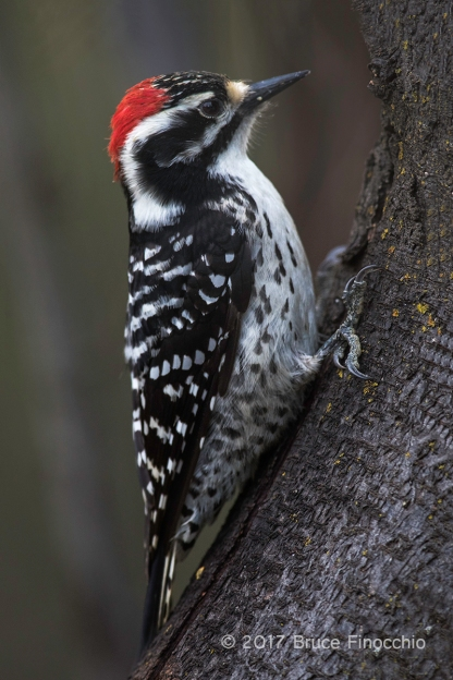 Male Nuttall's Woodpecker Pauses On A Tree Trunk