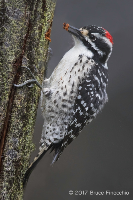 Male Nuttall's Woodpecker With A Chip Of Bark In Beak