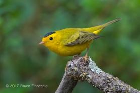 Male Wilson's Warbler Alights On Lichen Covered Branch