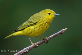 Male Yellow Warbler On Perch