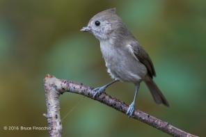 Oak Titmouse With Partial Seed Covering On Beak