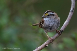 Perched Whited-throated Sparrow