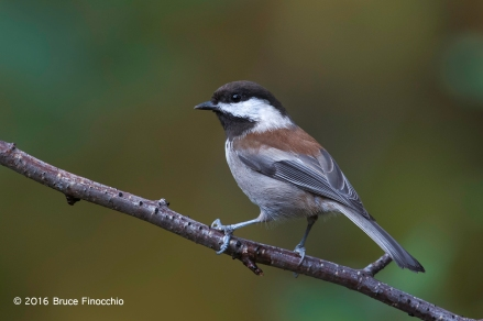 Perfectly Posed Chestnut-backed Chickadee