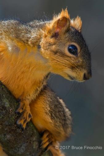 Portrait Of An Alert Fox Squirrel