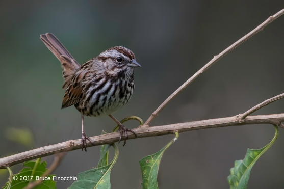 Song Sparrow Perched On Nightshade Branches