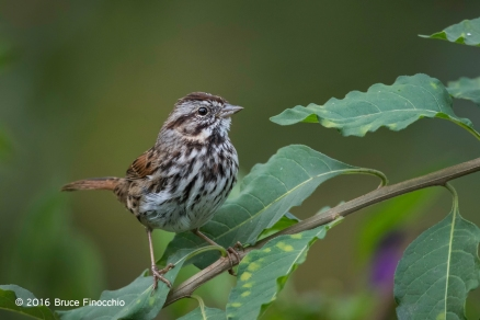 Song Sparrow Watches From The Nightshade Greenery