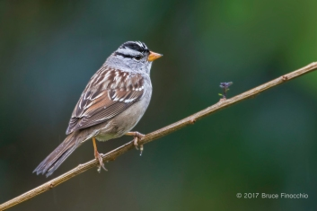 White-crowned Sparrow Perched On A Twig