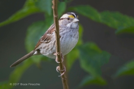 Whited-throated Sparrow Perched On A Nightshade Vine