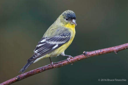 Young Male Lessor Goldfinch With Seed Husks In Beak