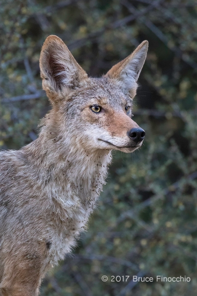 Adult Coyote Looks Intently