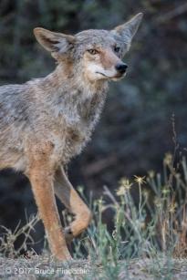 An Alert Coyote Steps Forward