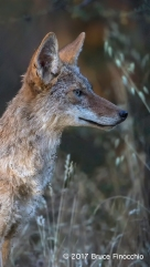 An Engage Adult Coyote Staring At Something Intently