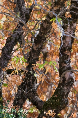 Black Oak Tree Trunks Against Fall Colored Leaves
