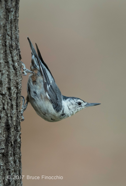 Female White-breasted Nuthatch Pauses On Its Way Down A Tree Trunk