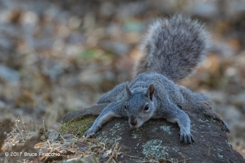 Gray Tree Squirrel Spreads Body On A Rock To Cool Down