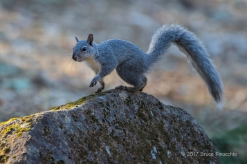 Grey Tree Squirrel Takes A Step On An Edge Of A Granite Boulder
