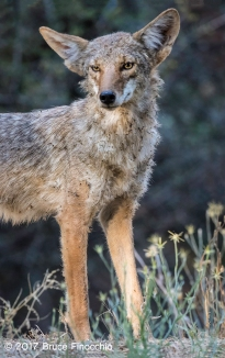Long Legs and Ears Of A Mature Coyote In The Sierra Foothills