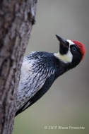 Male Acorn Woodpecker Peeks Out From Behind A Tree Trunk
