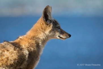 Something In the Distance Attracts The Attention Of This Young Coyote
