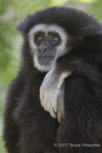 A Thoughtful Male White-handed Gibbon